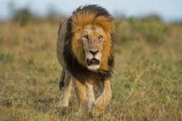 Running faster than a lion - who is your real competition